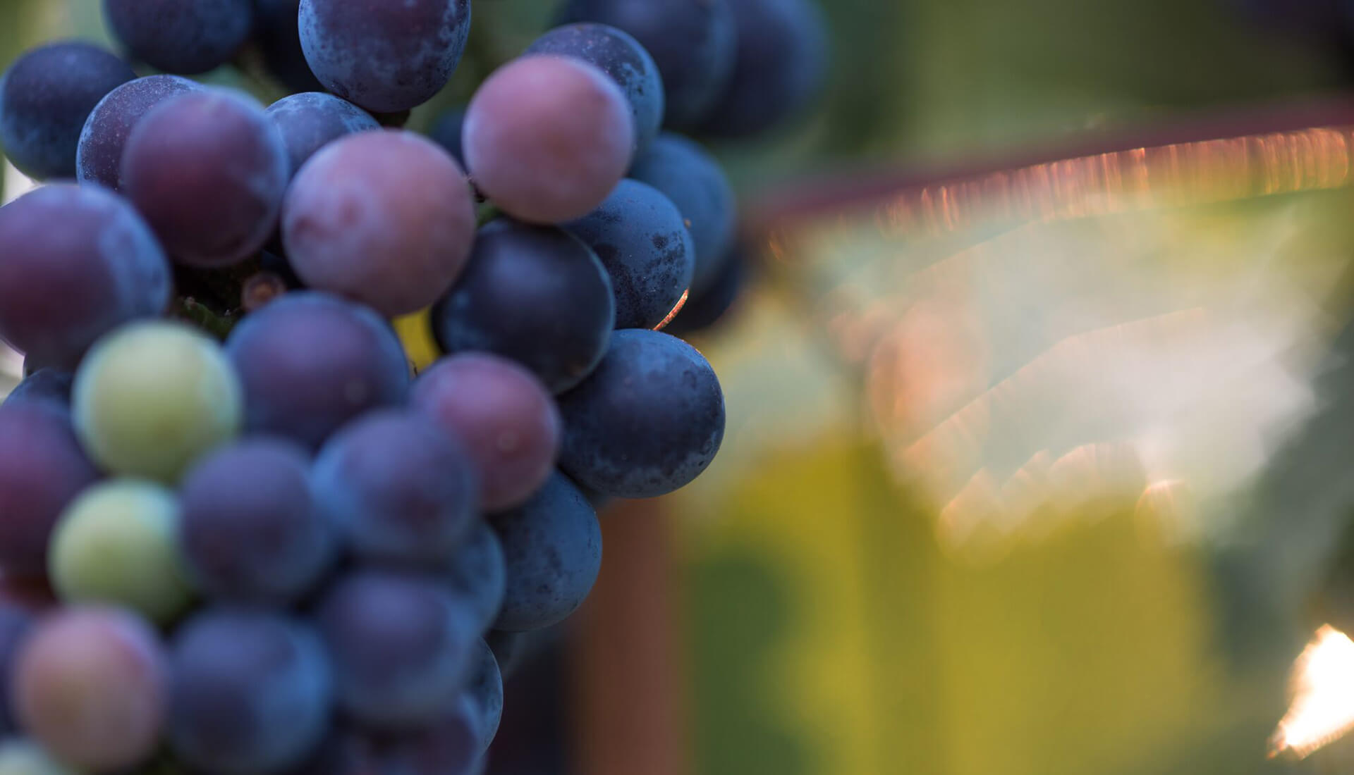 Vokel Cellars Grapes Up Close